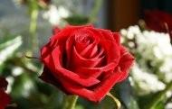Open Rose bud